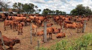 Vacas Brangus colorado con cría al pie, 2019.