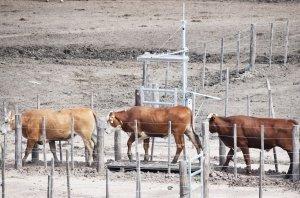 Cada animal es identificado por su caravana electrónica, vinculándolo con su peso al momento de pasar por la balanza.