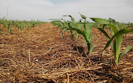 Con cultivos de cobertura, el maíz rinde un 75% más