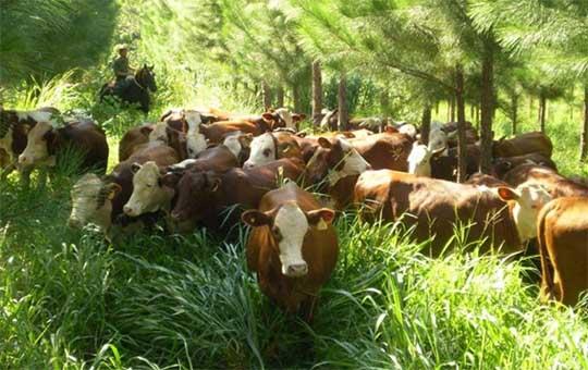 """El sector forestal apuesta a la """"vaca verde"""" para la Argentina pospandemia"""