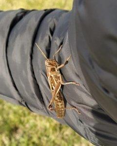 La langosta en el brazo de un empleado de campo, en el Rincón del Chañar.
