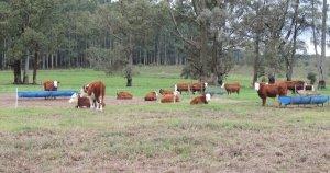 Novillitos descansando durante las lluvias en el feedlot ecológico.