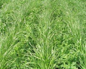 Pasturas mezcla para suelos agrícolas.
