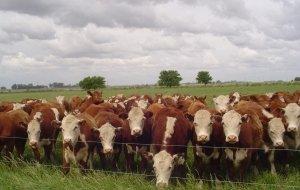 Animales en pastoreo directo.