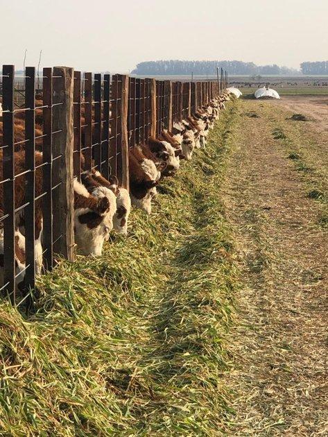 Terneros en adaptación, con alimento terminado, rollo de alfalfa y avena picada.